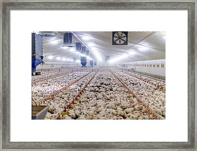 Hens Feeding From Plastic Containers Framed Print