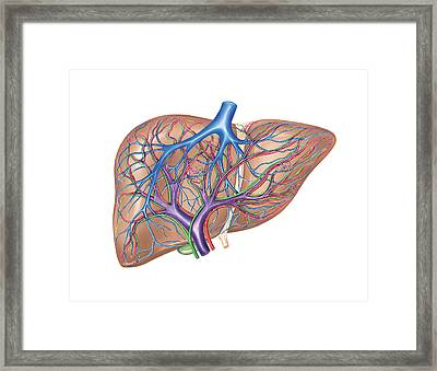 Hepatic Vessels And Ducts Framed Print by Asklepios Medical Atlas