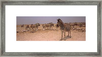 Herd Of Burchells Zebras Equus Quagga Framed Print by Panoramic Images