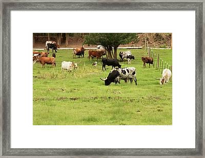 Herd Of Texas Longhorn Cattle In Green Framed Print