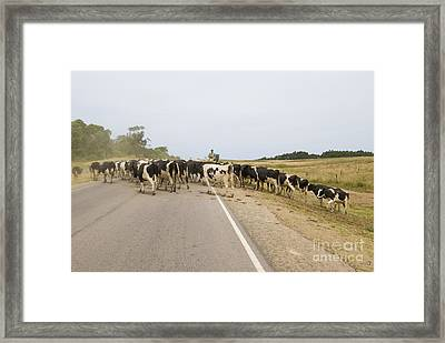 Herding Cows In Uruguay Framed Print by William H. Mullins