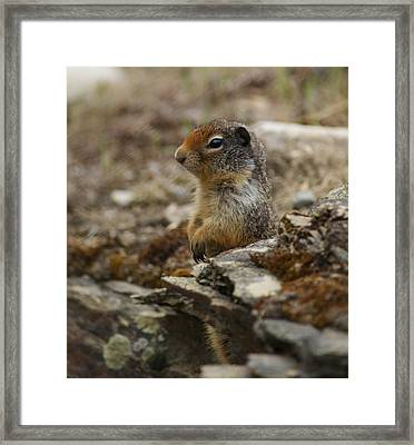 Herman The Rock Chuck Framed Print