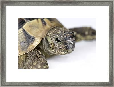 Hermanns Tortoise Head Framed Print