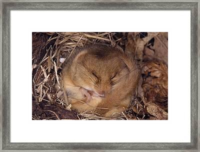 Hibernating Dormouse Framed Print by M. Watson
