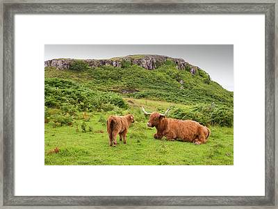 Highland Cattle Framed Print by Ashley Cooper
