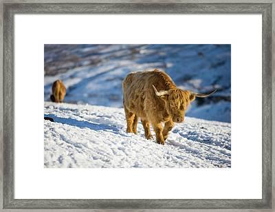 Highland Cattle On Kirkstone Pass Framed Print