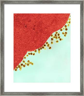 Hiv Viruses Infecting A Cell Framed Print by Ami Images/dartmouth College - Louisa Howard