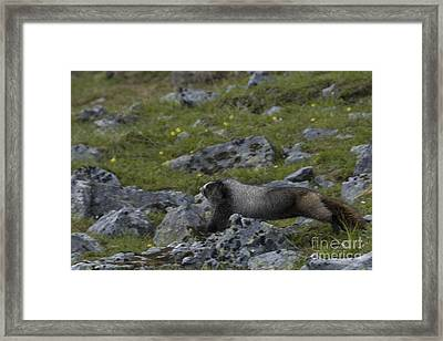 Hoary Marmot Framed Print by Mark Newman