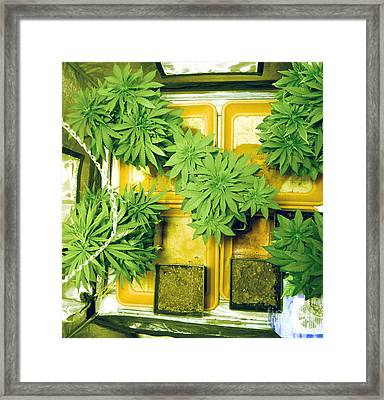 Home Grown Cannabis Plants. Framed Print