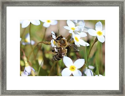 Honeybee On Bluet Framed Print