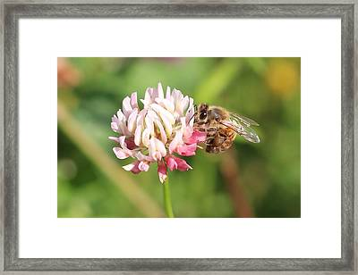 Honeybee On Clover Framed Print by Lucinda VanVleck