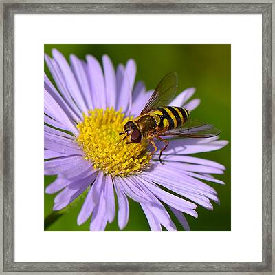Yellowjacket On Robin's Plantain Framed Print