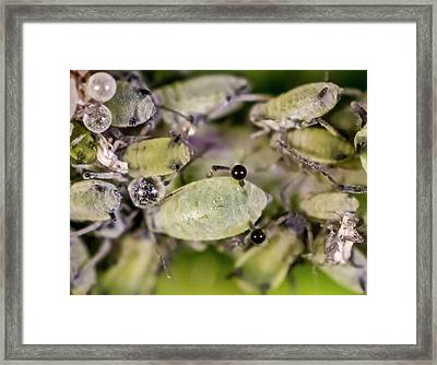 Honeysuckle Aphids Framed Print by Gerd Guenther