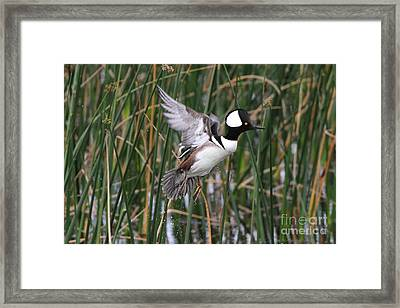 Hooded Merganser Take-off Framed Print by Jennifer Zelik