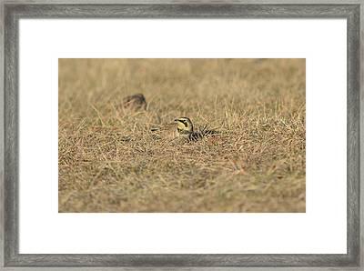 Horned Lark 3 Framed Print