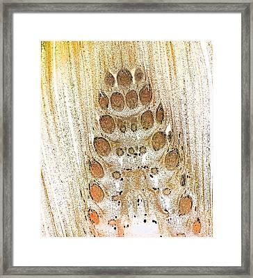 Horsetail (equisetum Telmateia) Bud Framed Print by Dr Keith Wheeler