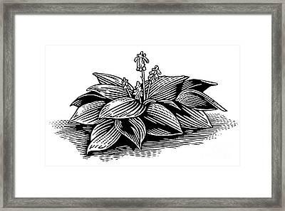 Hosta, Lino Print Framed Print by Gary Hincks