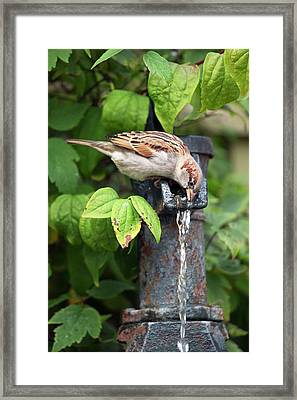 House Sparrow Drinking Water Framed Print