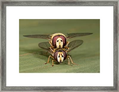 Hover-flies Framed Print