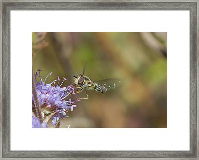 Framed Print featuring the photograph Hoverefly - Syrphus Vitripennis by Jivko Nakev
