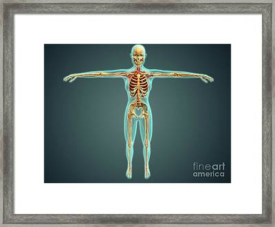 Human Body Showing Skeletal System Framed Print