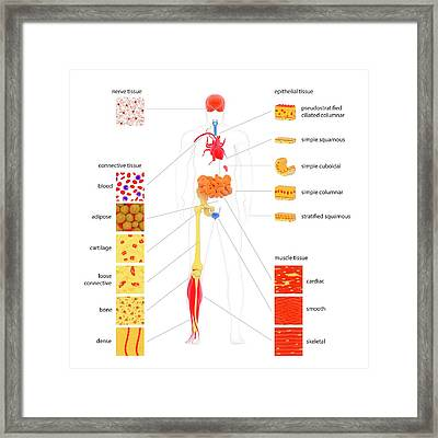 Human Body Tissue Types Framed Print by Science Photo Library