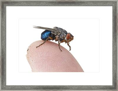Human Botfly Belize Framed Print by Piotr Naskrecki