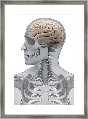 Human Brain Male Framed Print by Science Picture Co