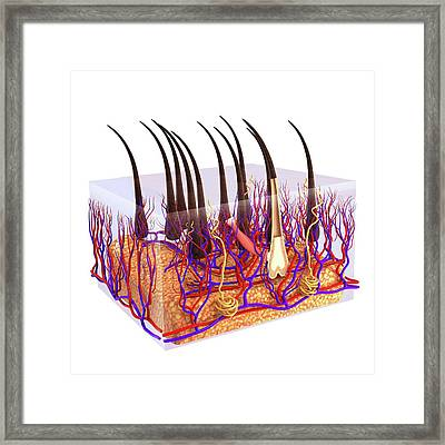 Human Hair Shaft Framed Print by Pixologicstudio
