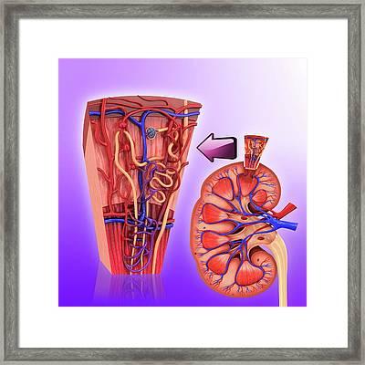 Human Kidney Nephron Framed Print by Pixologicstudio