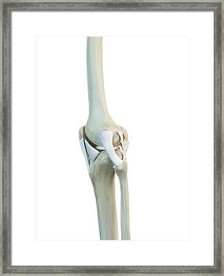 Human Knee Ligaments Framed Print