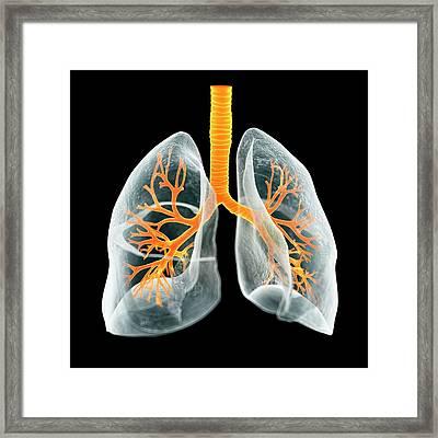 Human Lungs Framed Print