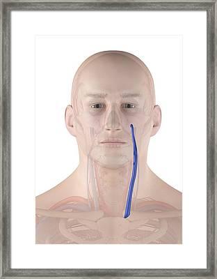 Human Neck Veins Framed Print