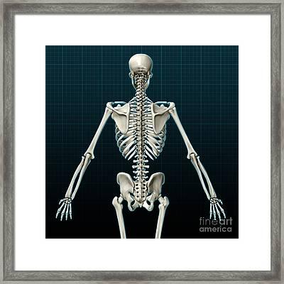 Human Skeleton, Posterior View Framed Print