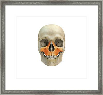 Human Skull And Maxilla Bones Framed Print