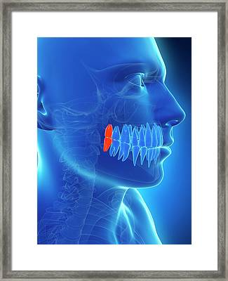Human Wisdom Teeth Framed Print by Sebastian Kaulitzki