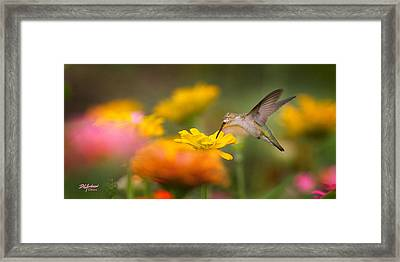 Hummer On Zinnia Framed Print