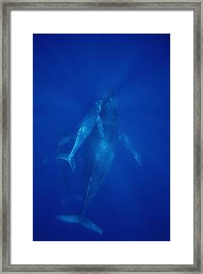 Humpback Whale Cow Calf And Male Escort Framed Print by Flip Nicklin