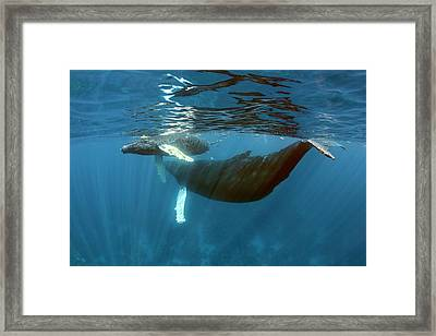 Humpback Whale Mother And Calf Framed Print