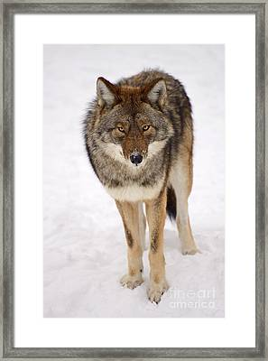 Hungry Eyes Framed Print by Joshua McCullough