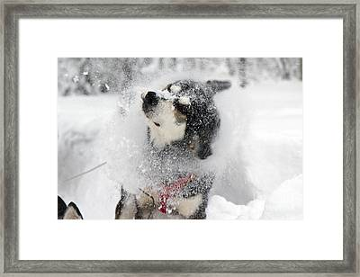 Husky Dogs Pull A Sledge  Framed Print by Lilach Weiss