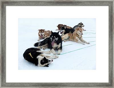 Husky Sled Dogs Framed Print by Louise Murray