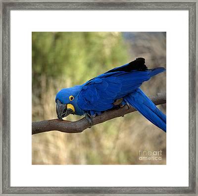 Hyacinth Macaw Framed Print by Hans Reinhard