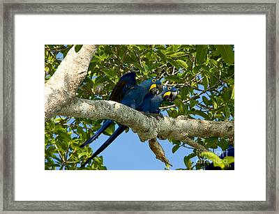 Hyacinth Macaws, Brazil Framed Print by Gregory G. Dimijian, M.D.