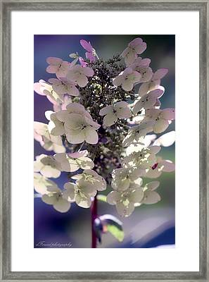 Framed Print featuring the photograph Hydrangea  by Debra Forand