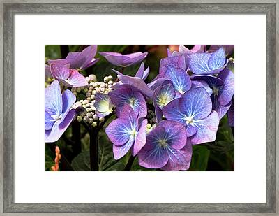 Hydrangea Macrophylla 'zorro' Framed Print