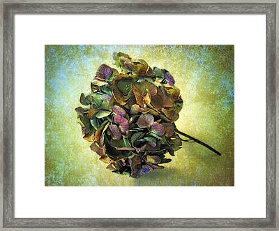 Hydrangea Still Life Framed Print by Jessica Jenney