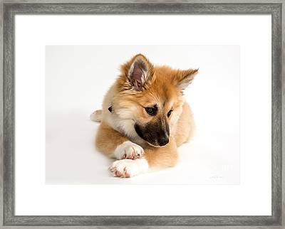 Icelandic Sheepdog Puppy Framed Print by Iris Richardson