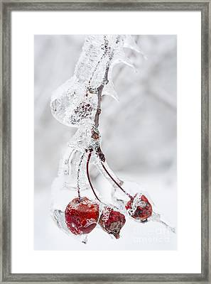 Icy Branch With Crab Apples Framed Print by Elena Elisseeva