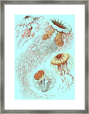 Illustration Showing Four Different Types Of Jellyfish Framed Print